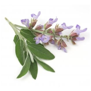 Skingredients: SkinOwl's Clary Sage Oil
